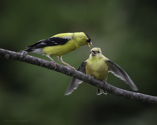 Lunch Time! (American Goldfinch)