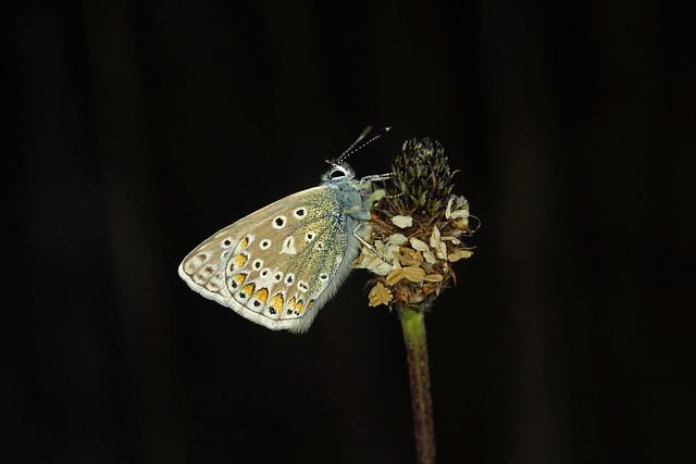 Common Blue, Draycott Sleights, Somerset