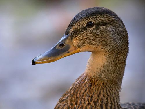 bird duck mallard nikon200500