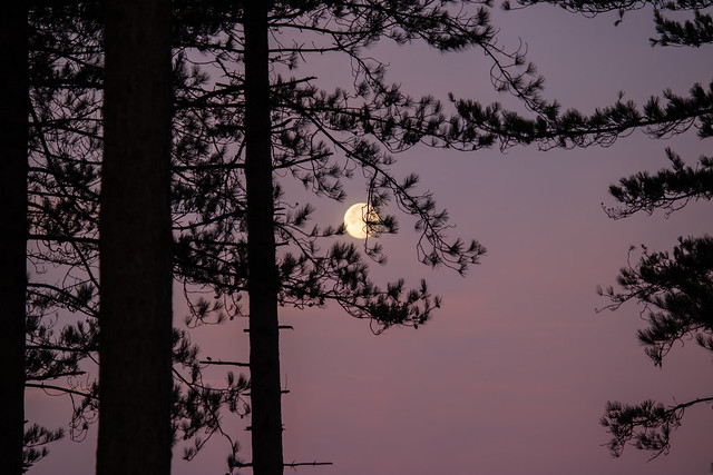 Not a pine-tree but has its bright moon...