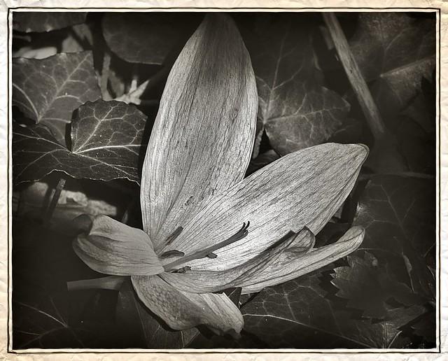 Autumn crocus