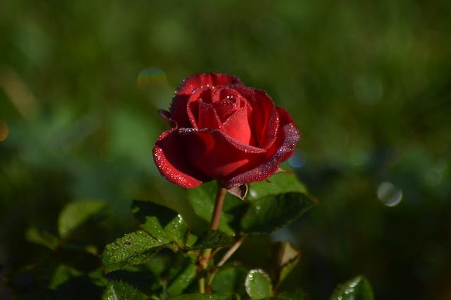 Rose September morgens