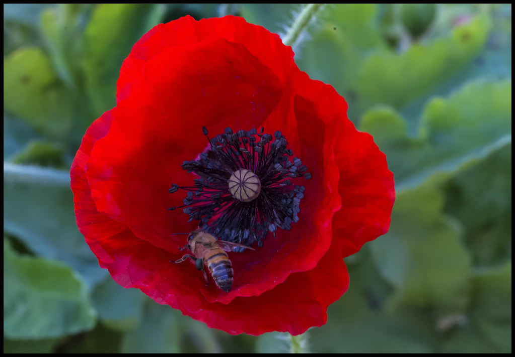 Nearing end of Poppy Season-1=