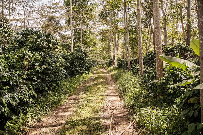 Canh tác cà phê dưới bóng râm, Shade-Grown Coffee