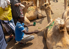 Somali man in the camel market tagging the animals with painting, Woqooyi Galbeed region, Hargeisa, Somaliland