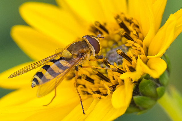 Hoverfly.......