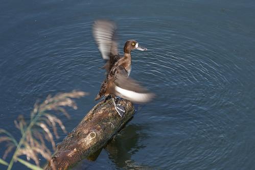 Tufted Duck, Fuligule morillon