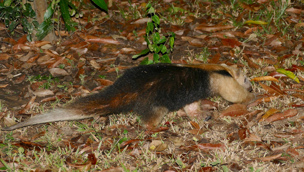 Southern Tamandua (Tamandua tetradactyla) walking away ...