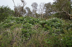 Rubus anglocandicans plant NC1