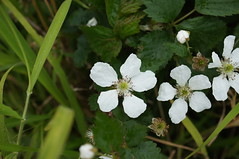 Rubus anglocandicans flower NC1