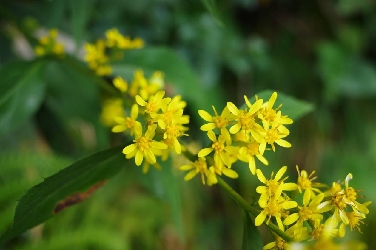 登山道に咲いていた黄色い花
