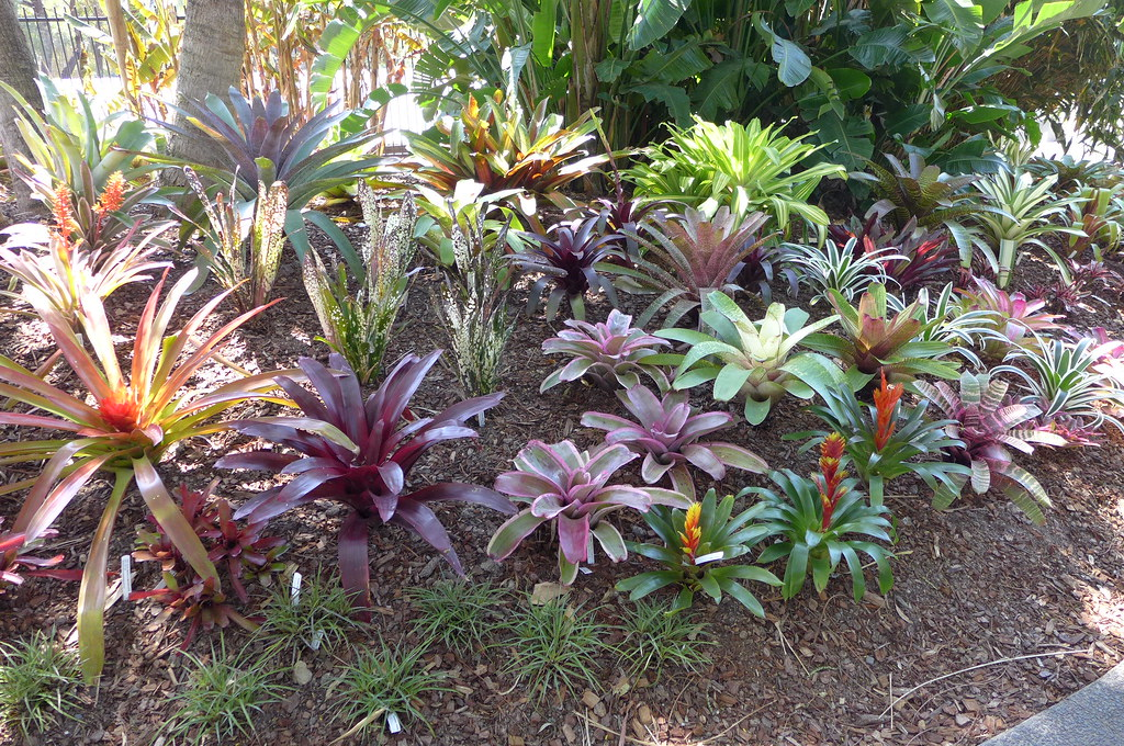 New bed of bromeliads at Mt Coot-Tha botanic gardens