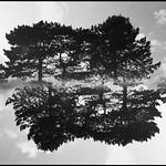 Dobbelteksponering: Luftige fyrretræer