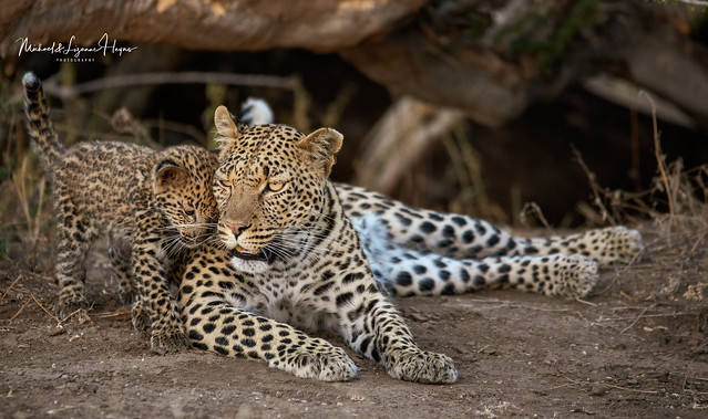 Leopard and baby