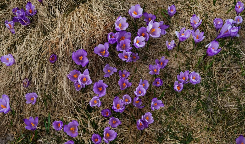 Crocus blooming in Apuseni Mountains, Transylvania, Romania