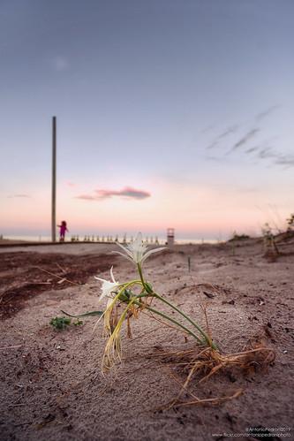 tertenia pancratiummaritimum gigliodimare tramonto sunset spiaggia beach summer sardegna sardinia