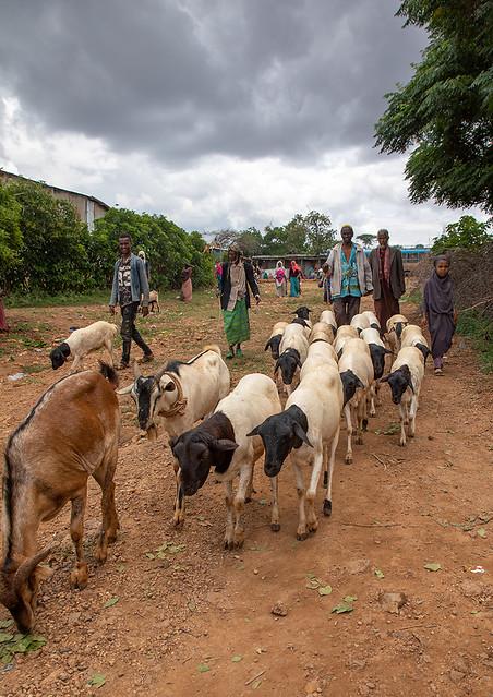 Oromo pilgrims in the shrine of sufi Sheikh Hussein bringing sheeps and goats for sacrifices, Oromia, Sheik Hussein, Ethiopia