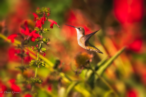 virginia virginiaarboretum bird hummingbird rubythroated sunrise wildlife whitepost unitedstatesofamerica