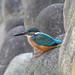 Kingfisher 190915015.jpg