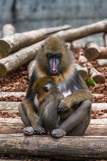 Mandrill Baboon, Artis(Zoo)