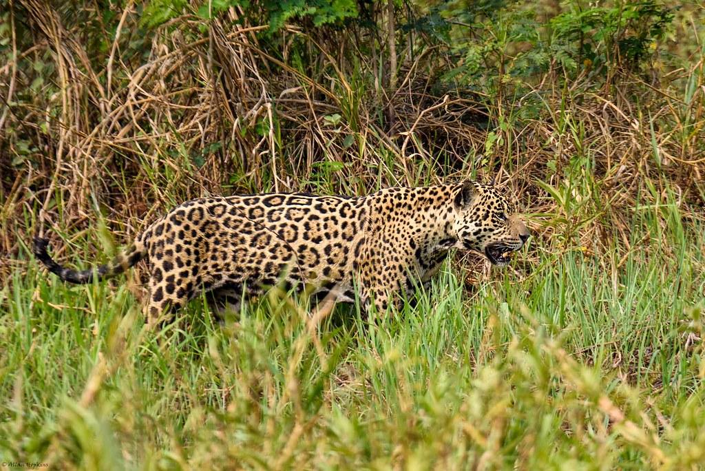Jaguar (Panthera onca), adult female