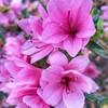 I oma ahau tēnēi ata i Ngaroto. Kātahi ka mahi ahau i te māra tēnēi ahiahi. Ka puāwai ngā Azalea he tohu tēnākua kõanga. #gardening #spring #learnigtereo #mahurumāori #tewikiotereomāori