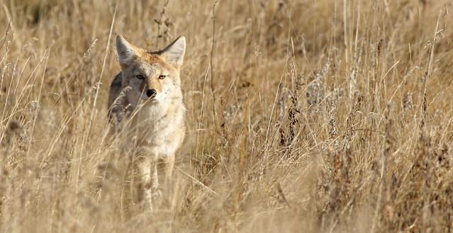 RMNP Coyote...#3