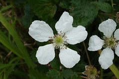 Rubus anglocandicans flower NC2