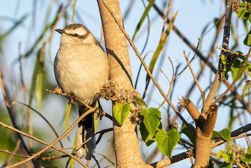 Calandria grande - Chalk-browed mockingbird