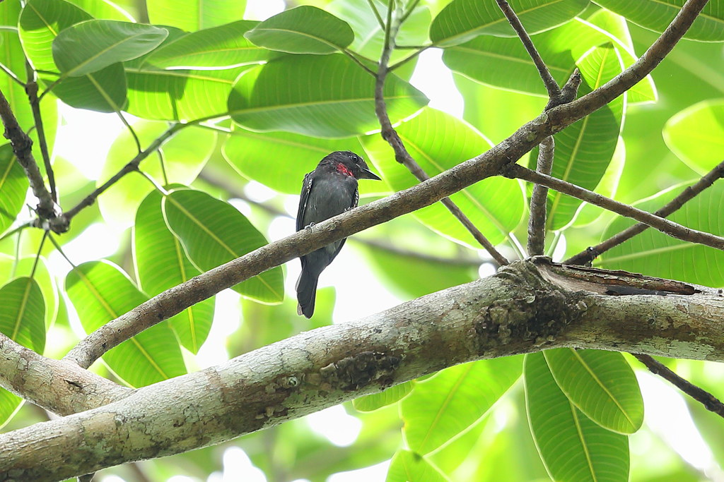 Pink-throated Becard