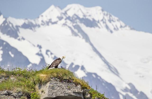 Katmai Eagle