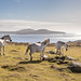 Wild Welsh ponies, St David's Head, Pembrokeshire