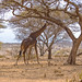 Tanzania_19_Road to Serengeti_Giraffe