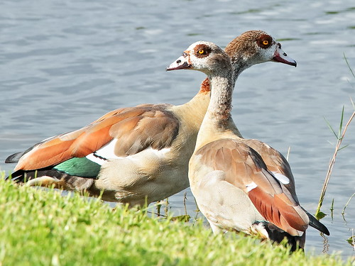 Egyptian Geese 02-20190908