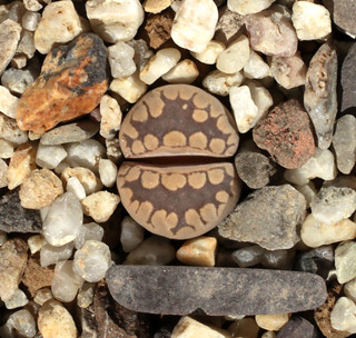 Lithops otzeniana SH531 | by Umadeave