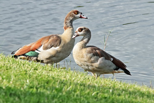 Egyptian Geese 01-20190908