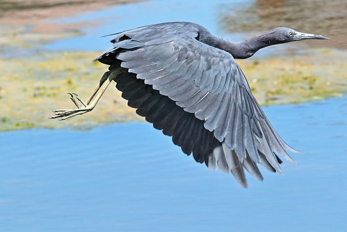 Little Blue Heron 02-20190908