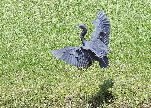 Little Blue Heron 05-20190908
