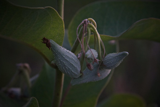 Milkweed seed pods forming, 7-30-19