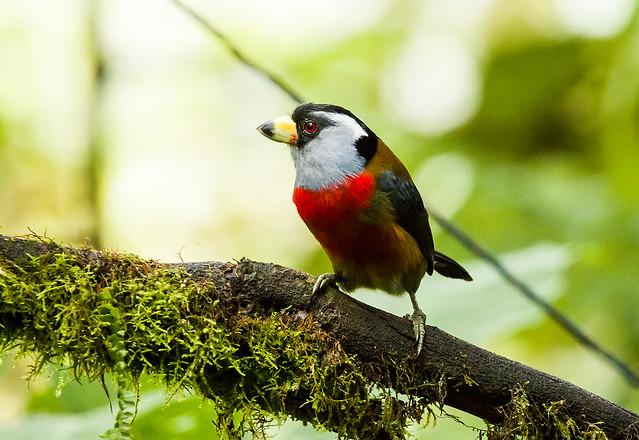 OP7A 2926 Toucan Barbet, Ecuador