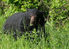 Big ole Black Bear...#2