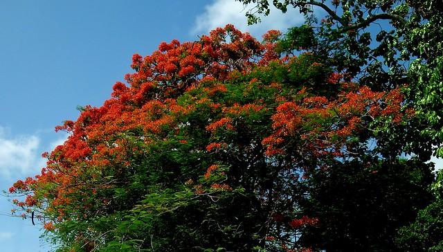 MEXICO, Yucatán ,  Tabasco, Villahermosa- Parque, Flamboyant-blüten  19274/11949