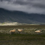Iceland and Sheep