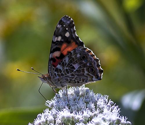 2019 Week #37: More butterflies