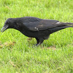 Crow at Haslam Park, Preston