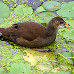 Baby moorhen on the canal at Preston