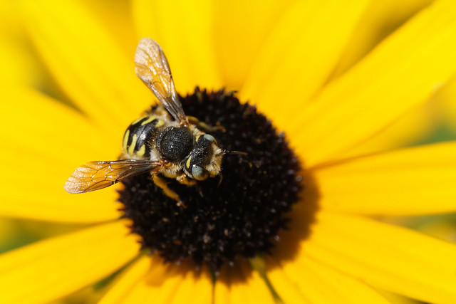 Wool Carder Bee And Black-eyed Susan