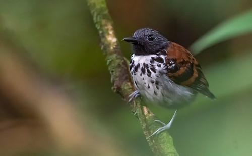 Hylophylax naevioides - Spot-backed Antbird - Hormiguero Dorsipunteado - Hormiguero Gargantilla 02