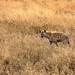 Tanzania_19_Serengeti_Hyena