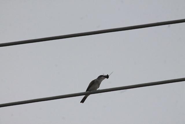 Gray Kingbird eating cicada (13)